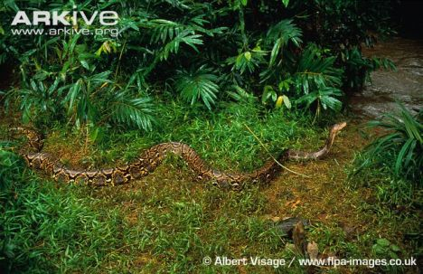 Python reticulatus Arkive.org